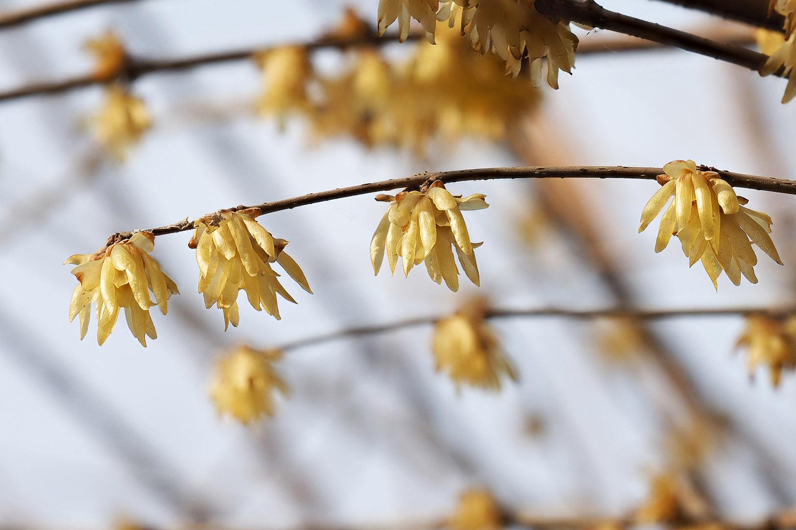 Calicanto Fiore D Inverno calicanto: l'affettuosa protezione naturale - pauline srl