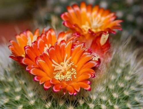 Cactus: il rigoglio dell'aridità