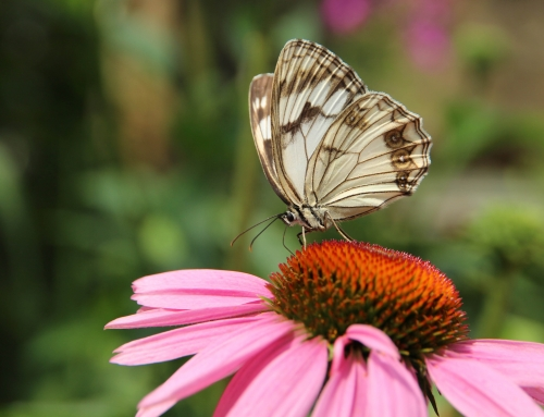 Echinacea: la radice che cura